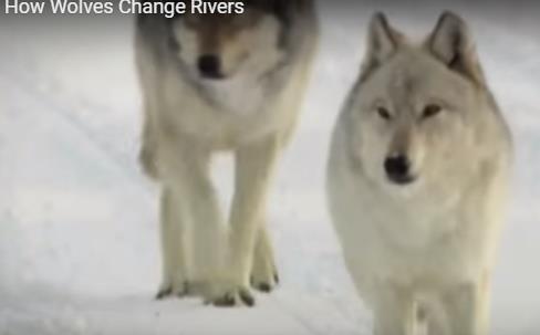 Bwolves For Nlet